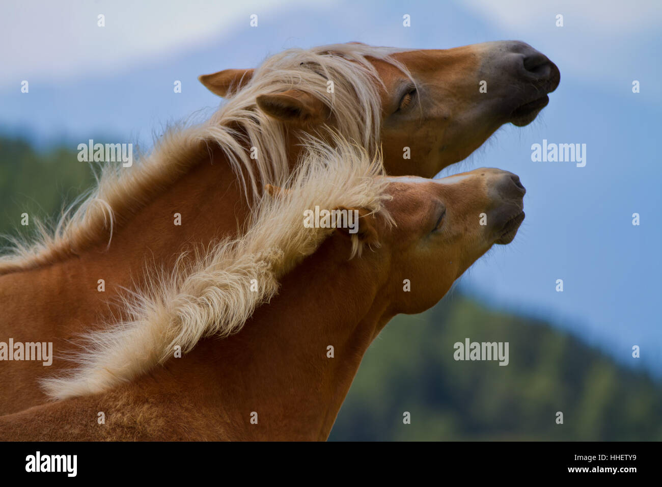 horse, horses, mare, foal, motherly love, haflinger horse, cling, two, south - Stock Image