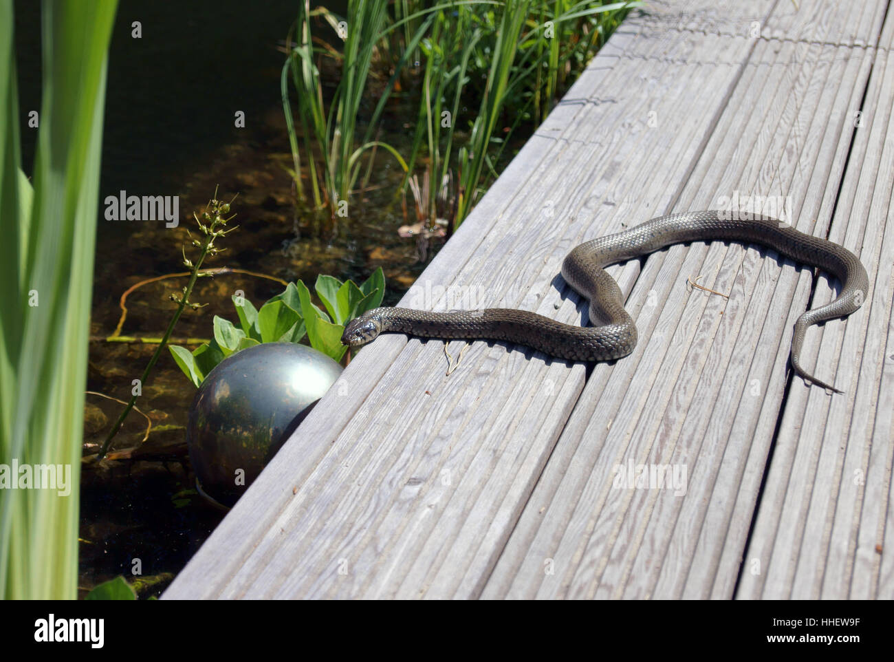 Animal Reptile Snake Fresh Water Pond Grass Nature Aerial