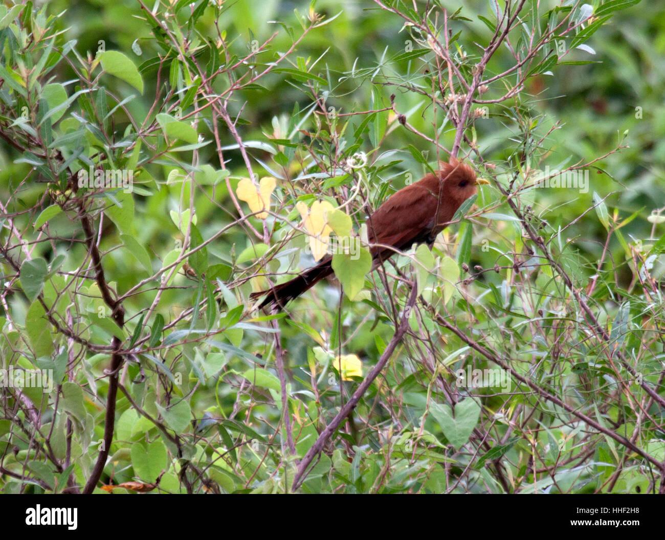 Little cuckoo in shrub in the Cerrado of Brazil - Stock Image