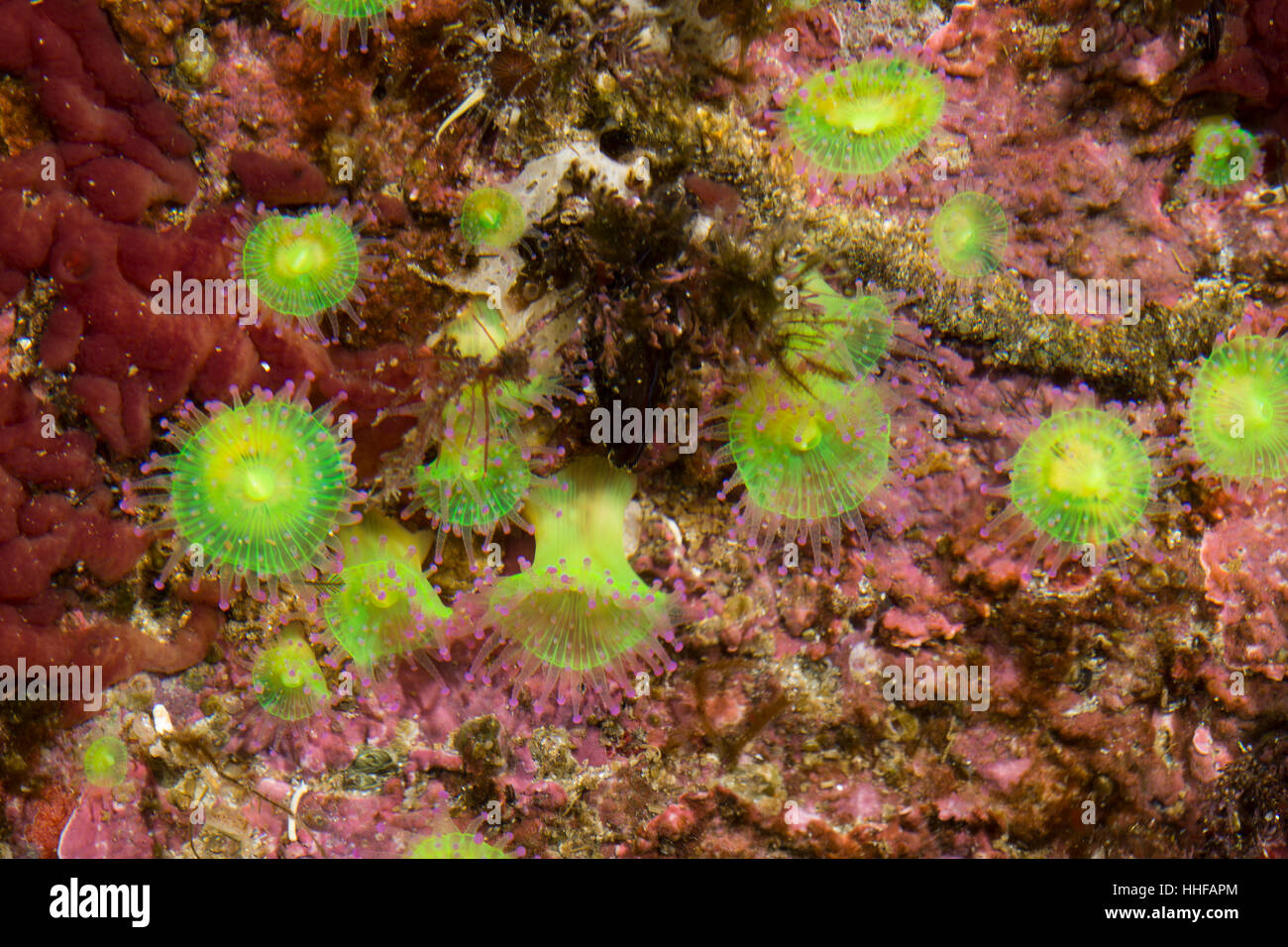 Juwelenanemone, Juwelen-Anemone, Korallenanemone, Korallen-Anemone, Corynactis viridis, jewel anemone, L'Anémone - Stock Image
