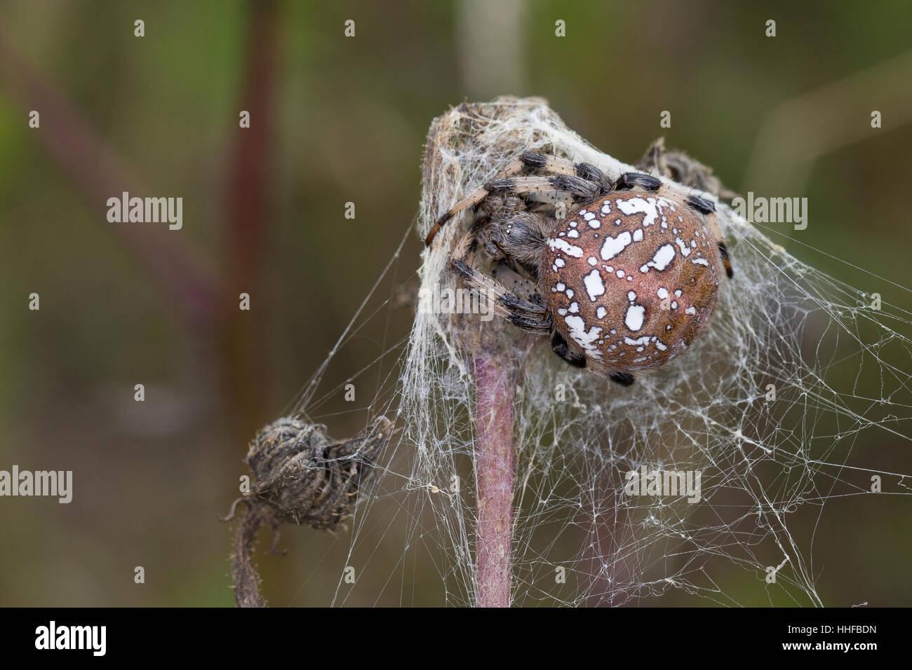 Vierfleck-Kreuzspinne, Vierfleckkreuzspinne, Weibchen, Kreuzspinne, Araneus quadratus, fourspotted orbweaver, female, - Stock Image