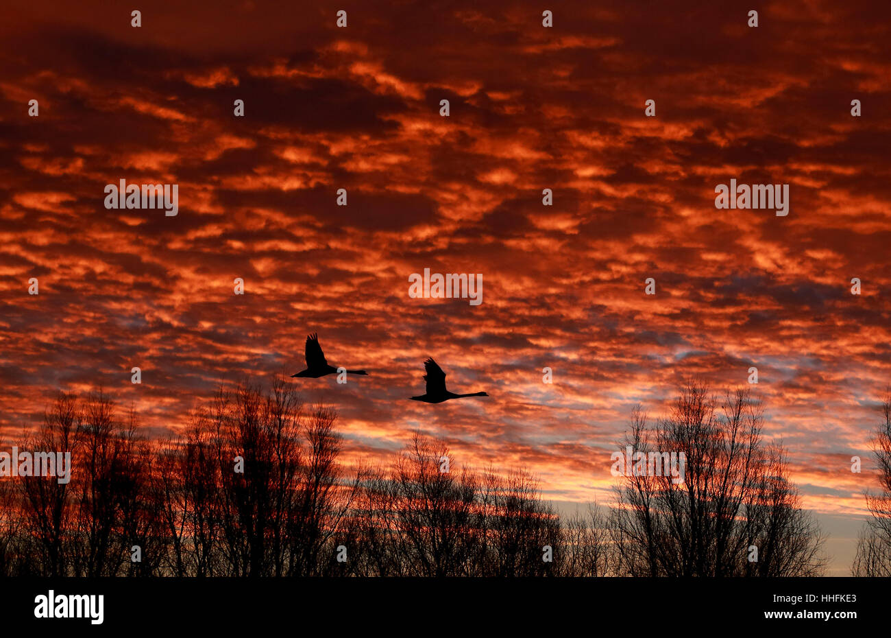 Peterborough, UK. 18th January 2017. The sky looked on fire this morning as two swans take flight just before sunrise - Stock Image