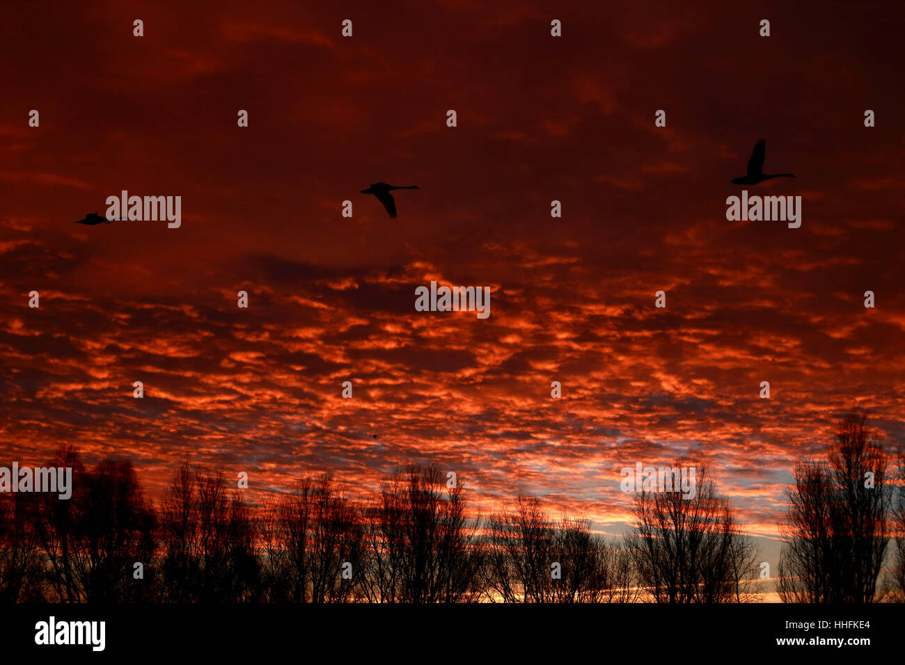 Peterborough, UK. 18th January 2017. The sky looked on fire this morning as three swan take flight above Peterborough - Stock Image