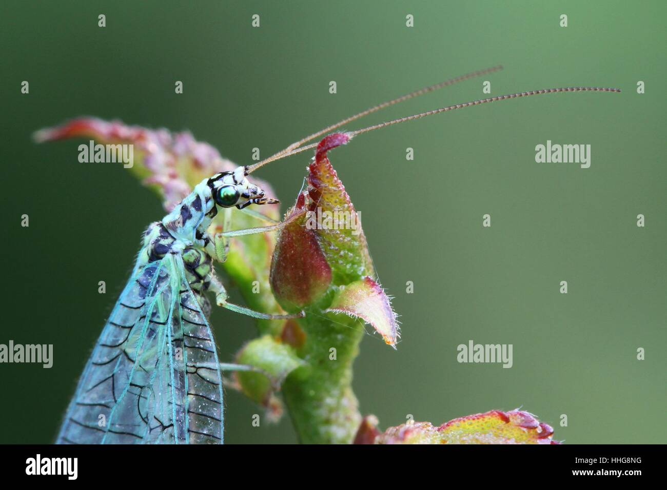 Green lacewing,  beneficial predator feeding on aphids - Stock Image