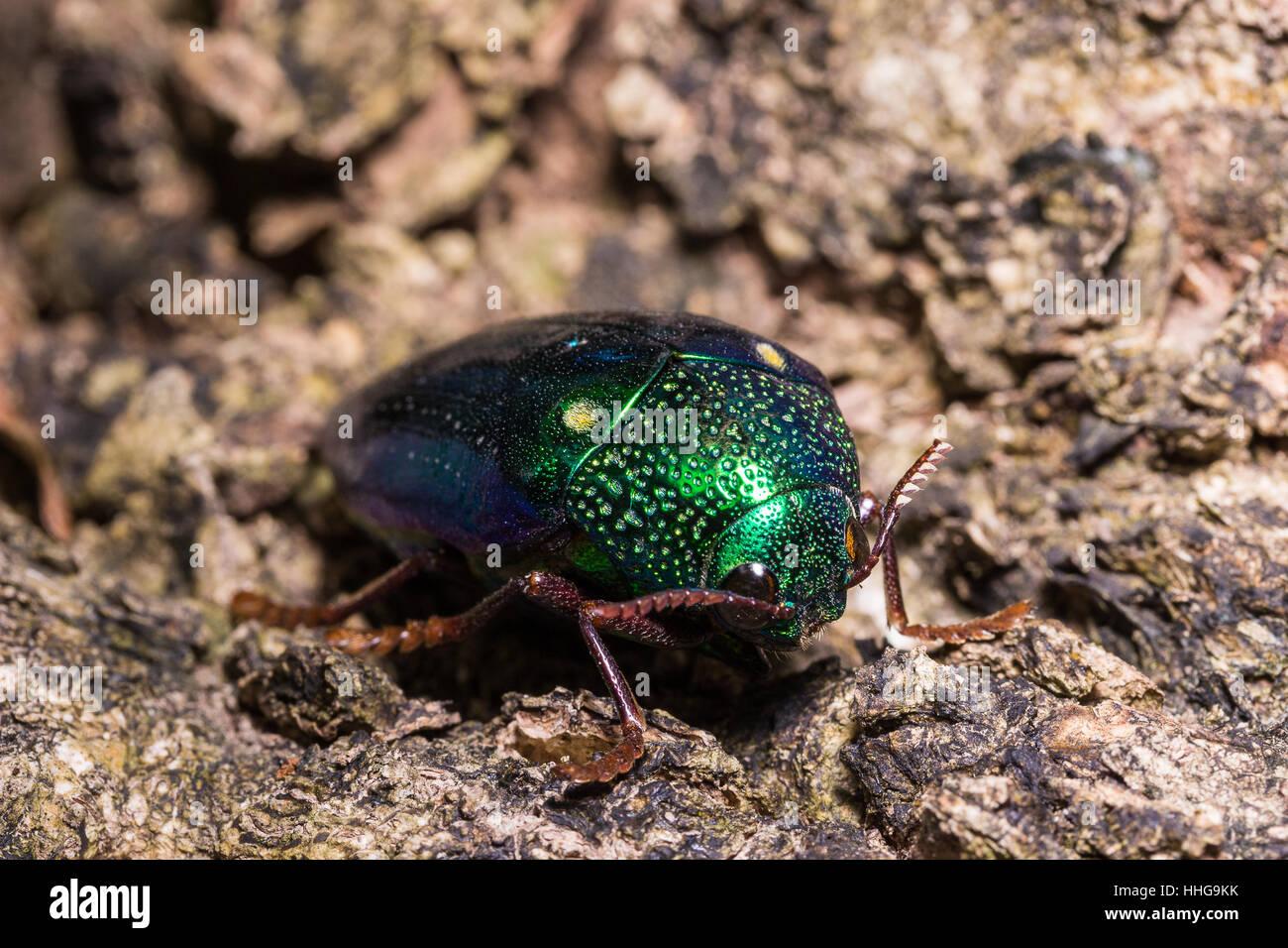 Jewel Beetle (Sternocera ruficornis) on the green leaf - Stock Image