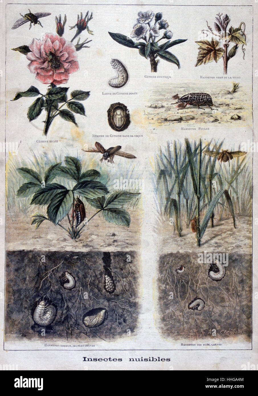 Illustration depicting harmful insects. 1897 - Stock Image