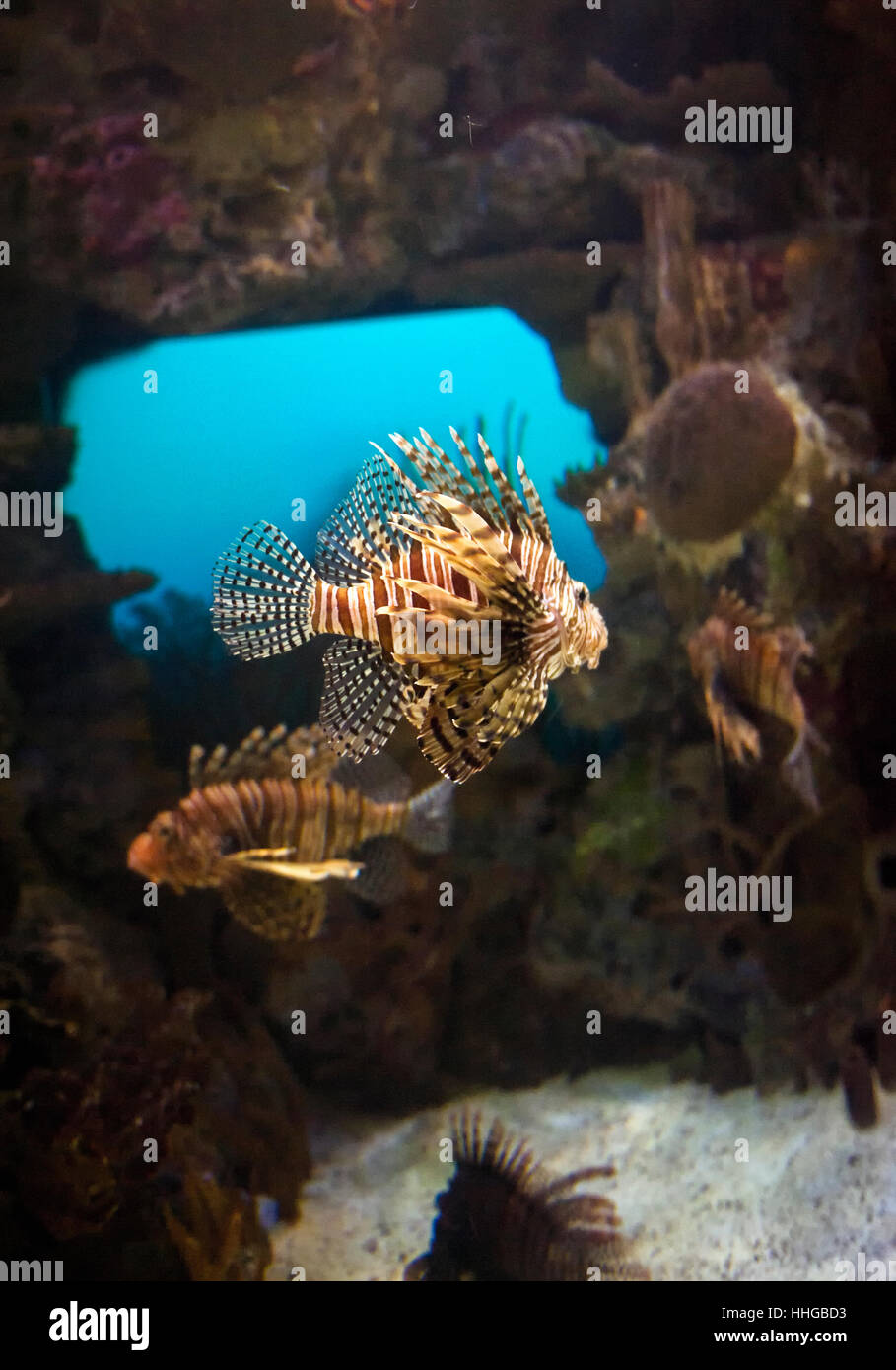 Red Lionfish Scorpionfish Pterois Volitans In A Well Lit Stock