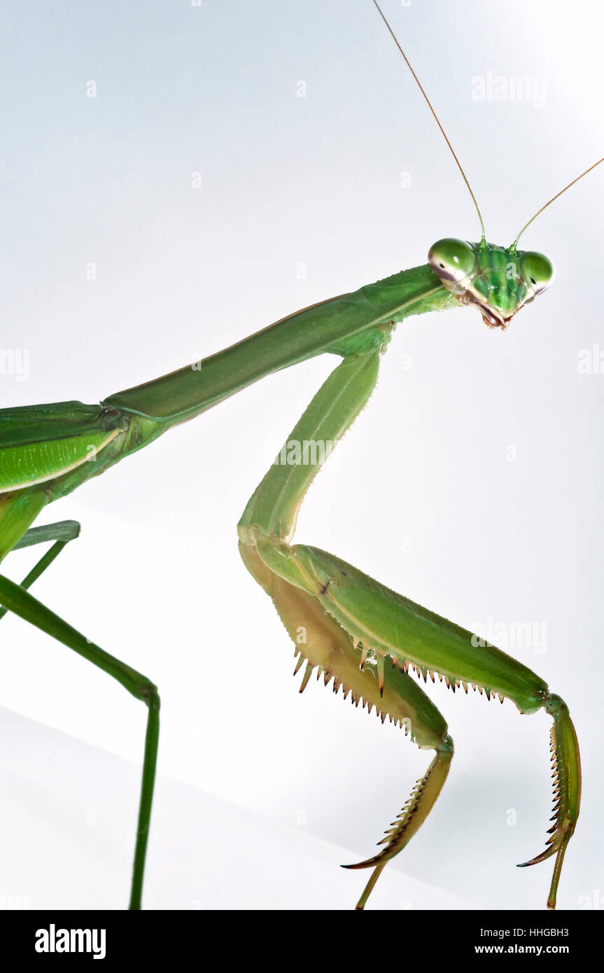 'Mantis religiosa' Praying Mantis insect portrait close-up macro - Stock Image