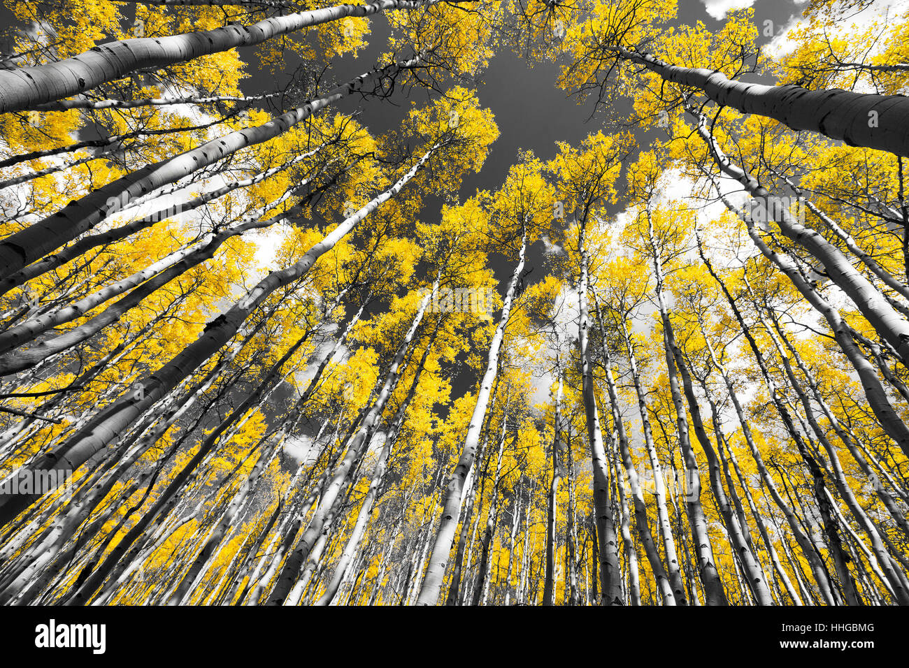 Golden leaves of a fall aspen tree forest in black and white landscape scene in the colorado rocky mountains