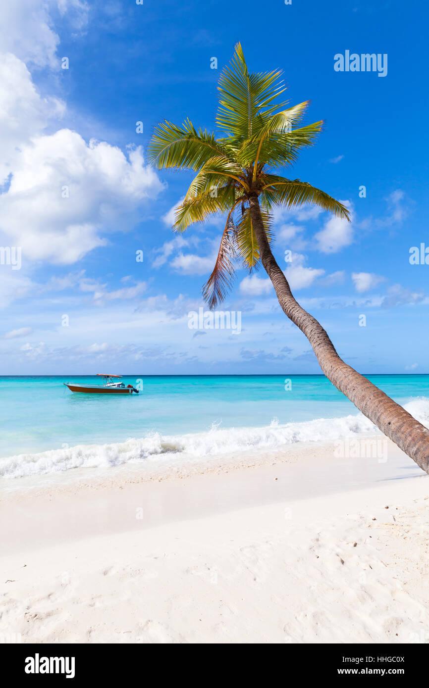 Coconut palm grows on white sandy beach. Caribbean Sea coast, Dominican republic, Saona island - Stock Image