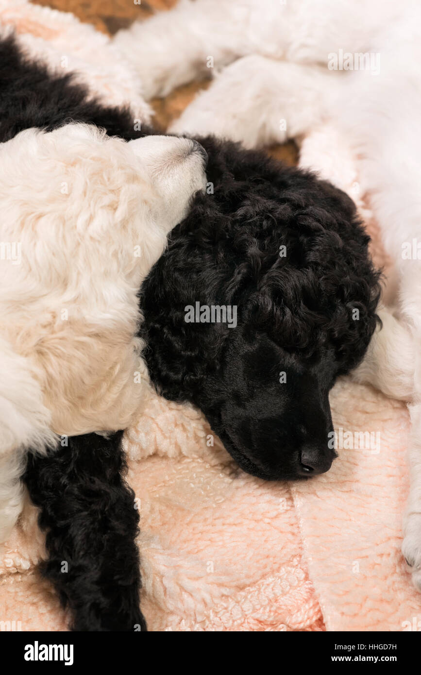 Black and white standard poodle puppies sleeping intertwined on a rug, six week old purebred dogs. - Stock Image