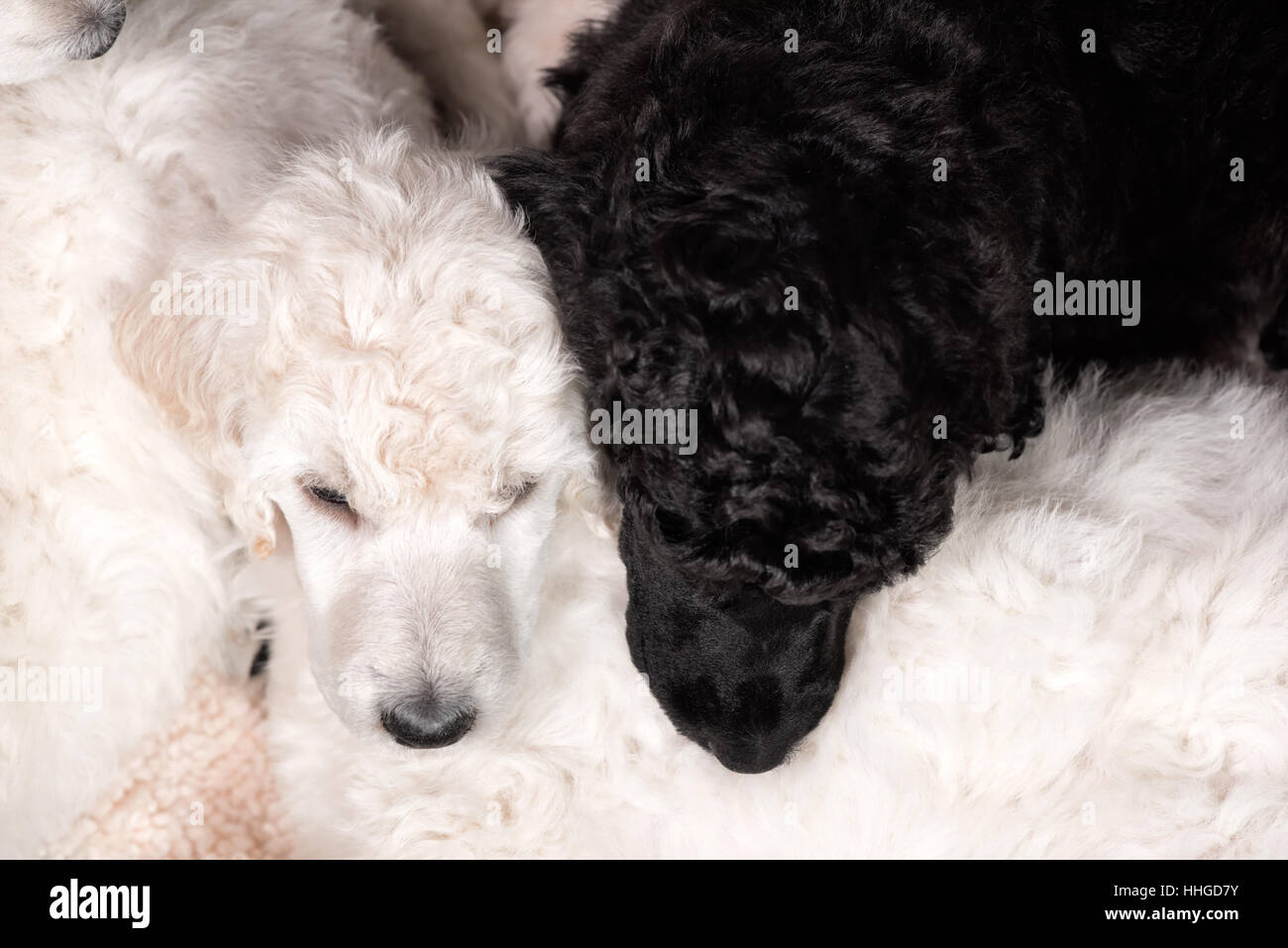 Poodle puppies sleeping side by side on litter mates in top view, black and white together, cute young dogs. - Stock Image