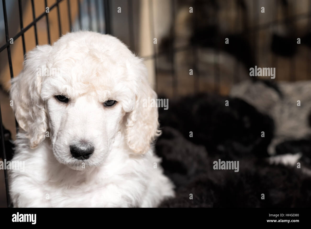 White Standard Poodle Puppy With Wavy Fur And Black Snout