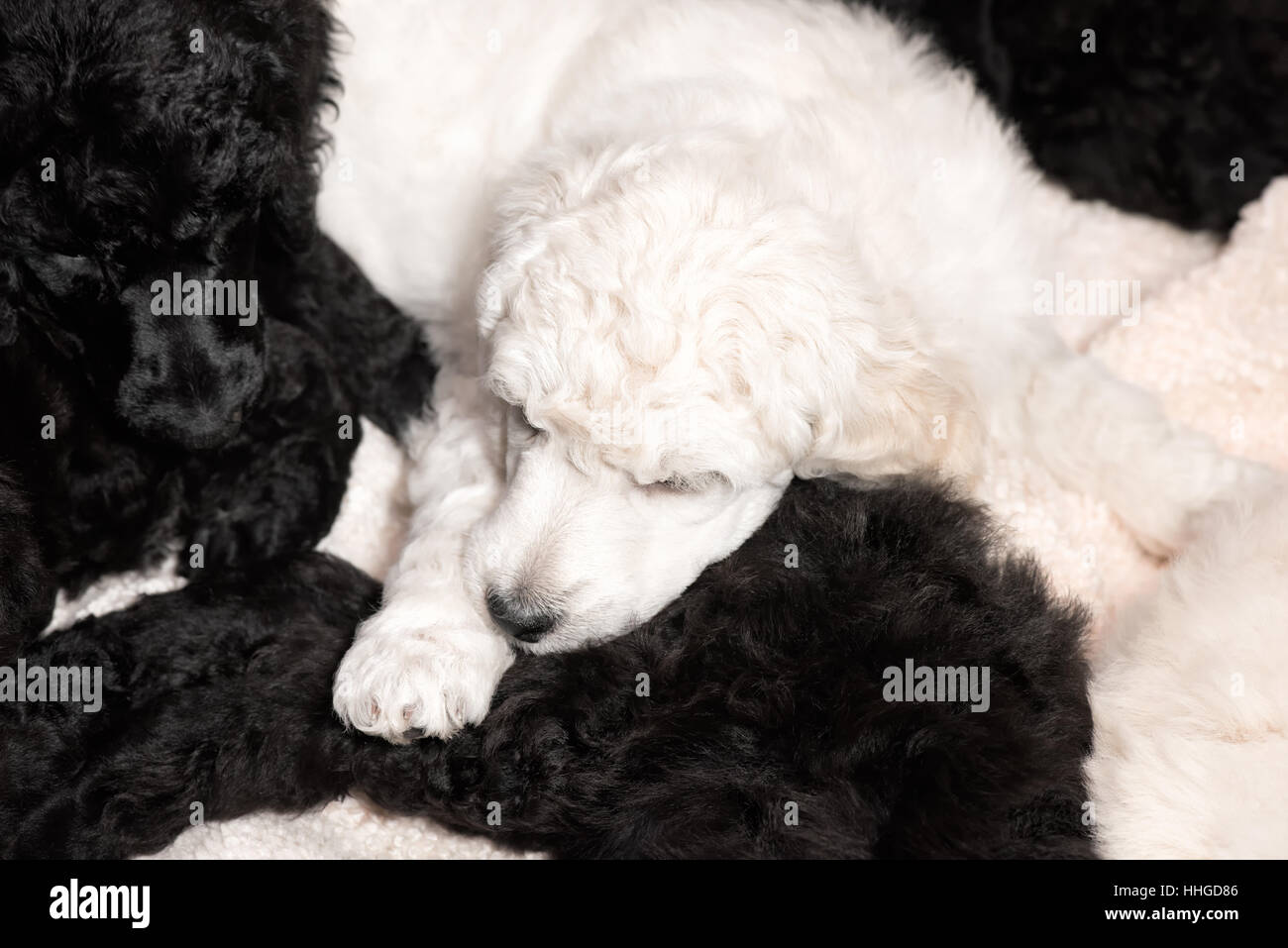 Black Standard Poodle Stock Photos & Black Standard Poodle Stock