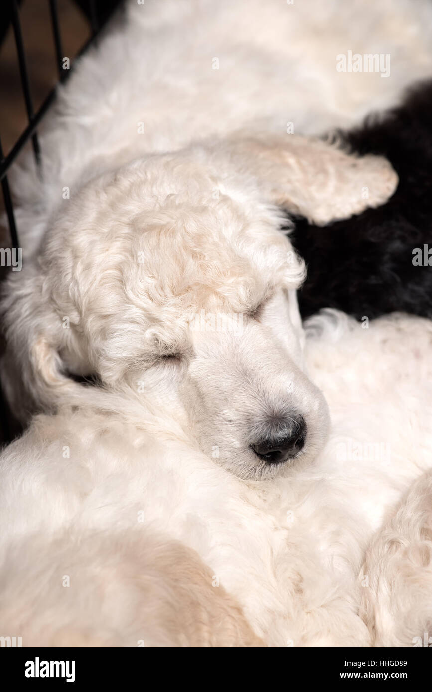 Poodle puppies sleeping peacefully on litter mats, close up of cute young purebred dogs at six weeks old. - Stock Image