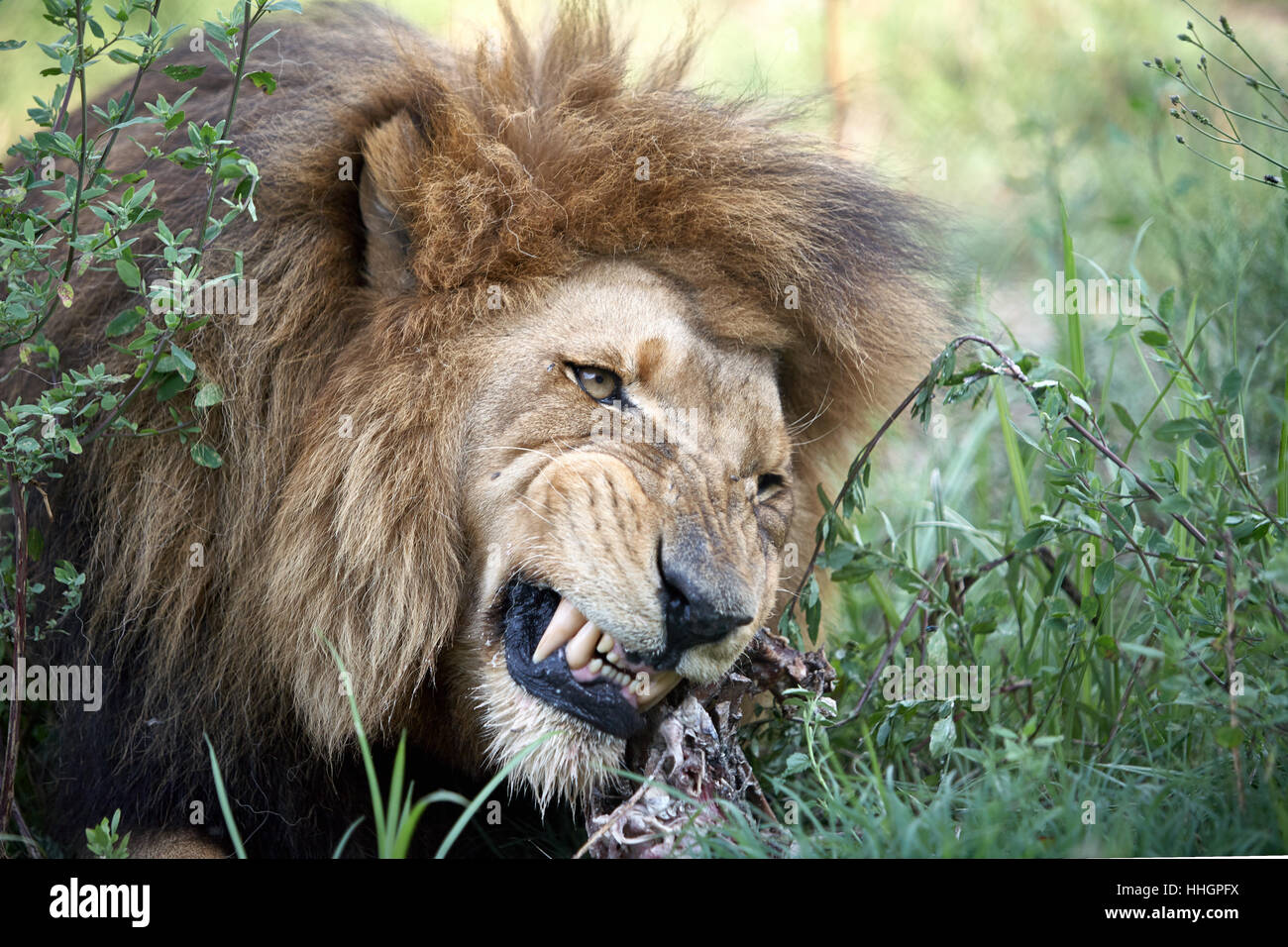 Male Lions, old and hungry - Stock Image