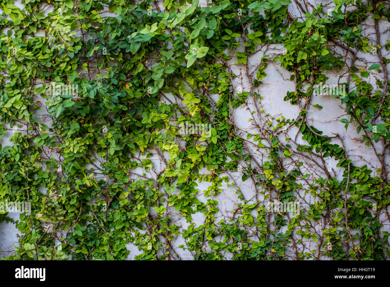 Green Plants Natural Background, Plants climbing a wall - Stock Image
