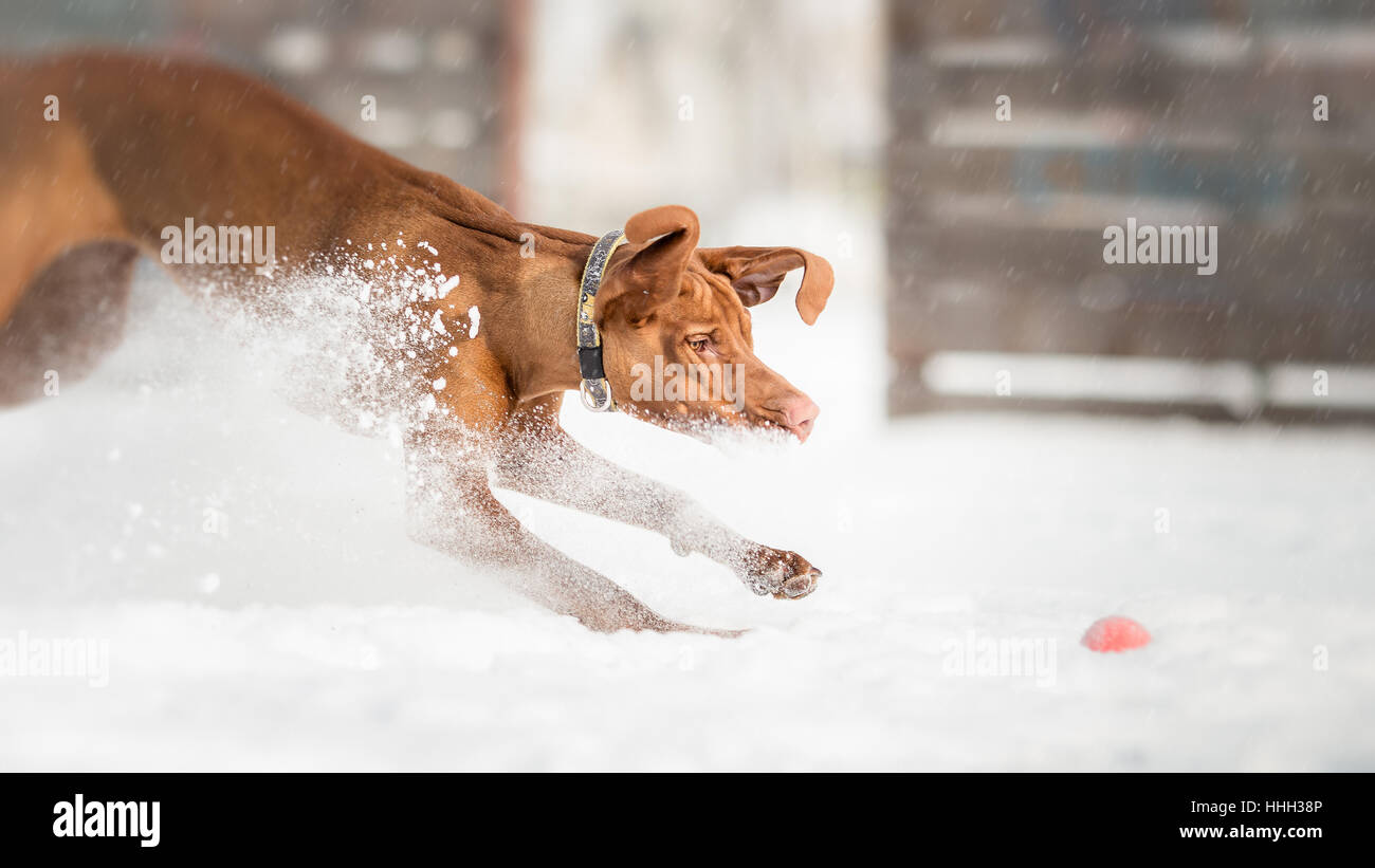 Plying fetch with active Hungarian Vizsla dog - Stock Image