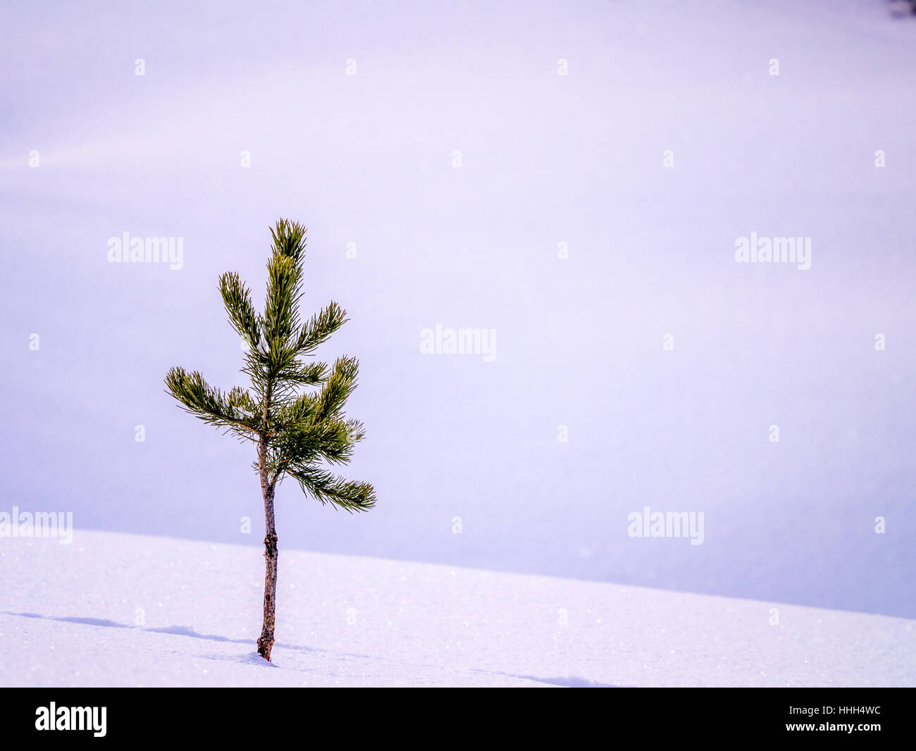 Small pine alone in snow with tracks - Stock Image