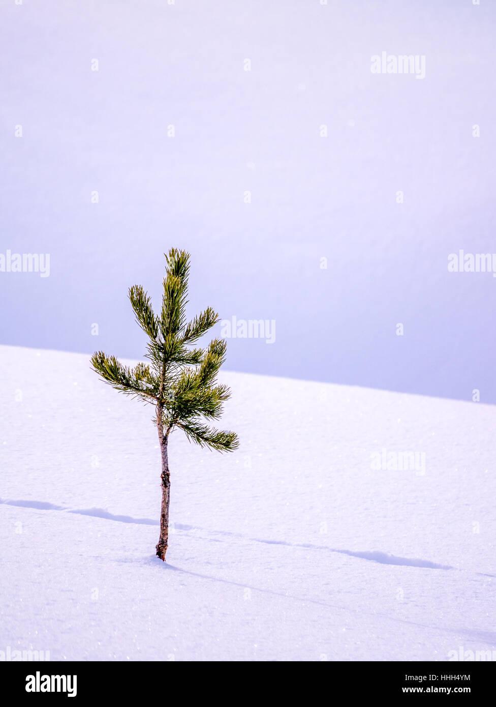 Close up of pine tree with animal tracks - Stock Image