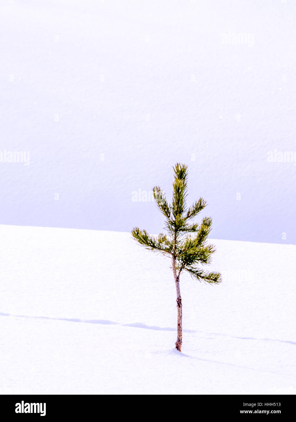 Solitary tree in fresh snow with animal tracks - Stock Image