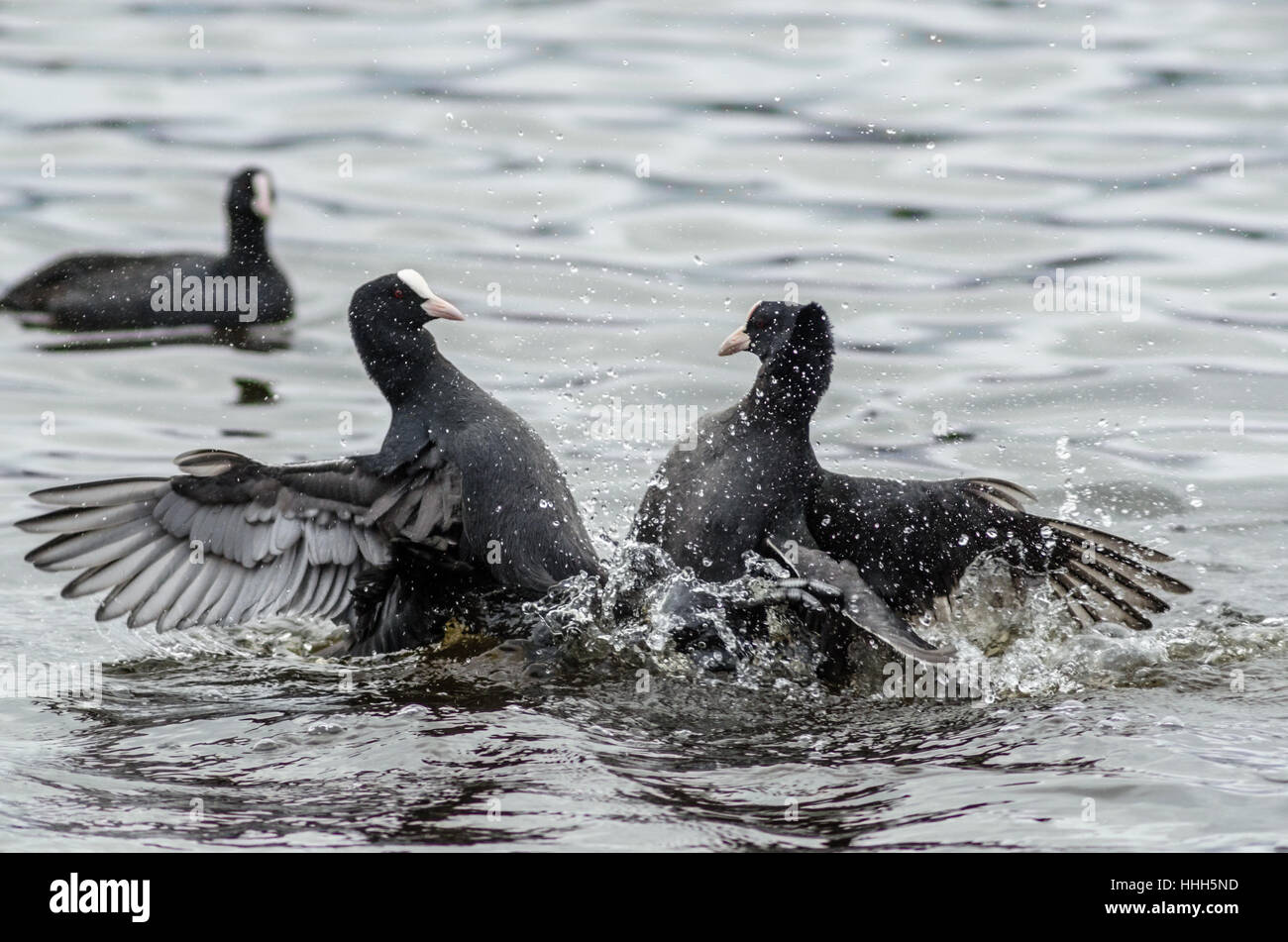 Two Coots (Fulica atra) fight for dominance over an area of water - Stock Image