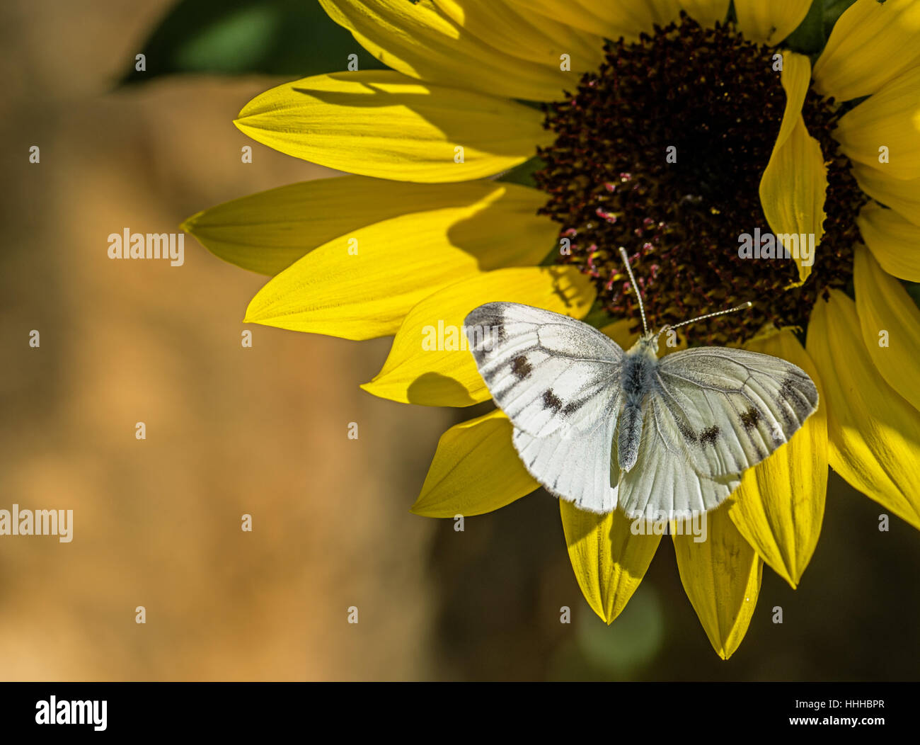 Flower plant butterfly sunflower moth cabbage white butterfly flower plant butterfly sunflower moth cabbage white butterfly yellow mightylinksfo