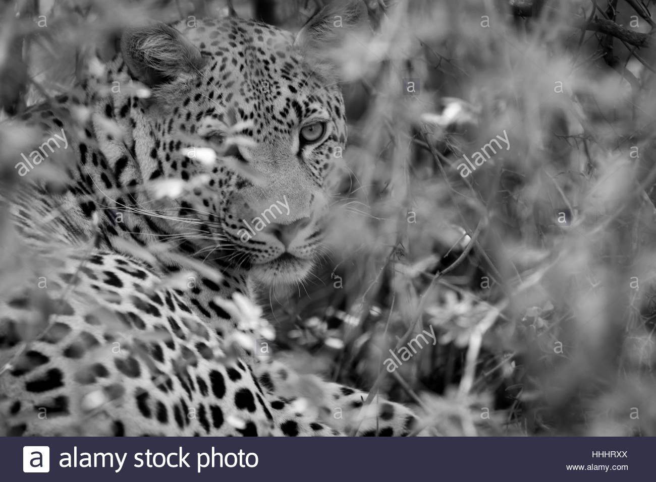 Camourflaged Okavango Leopard - Stock Image