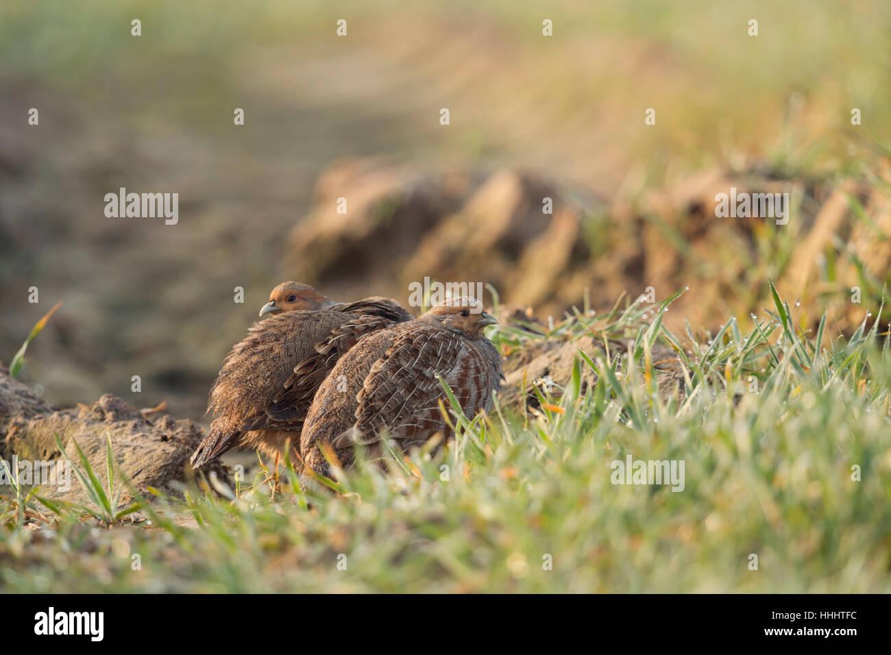 Grey Partridges / Rebhuehner ( Perdix perdix ) hiding on farmland, well camouflaged, shy, watching attentively, - Stock Image