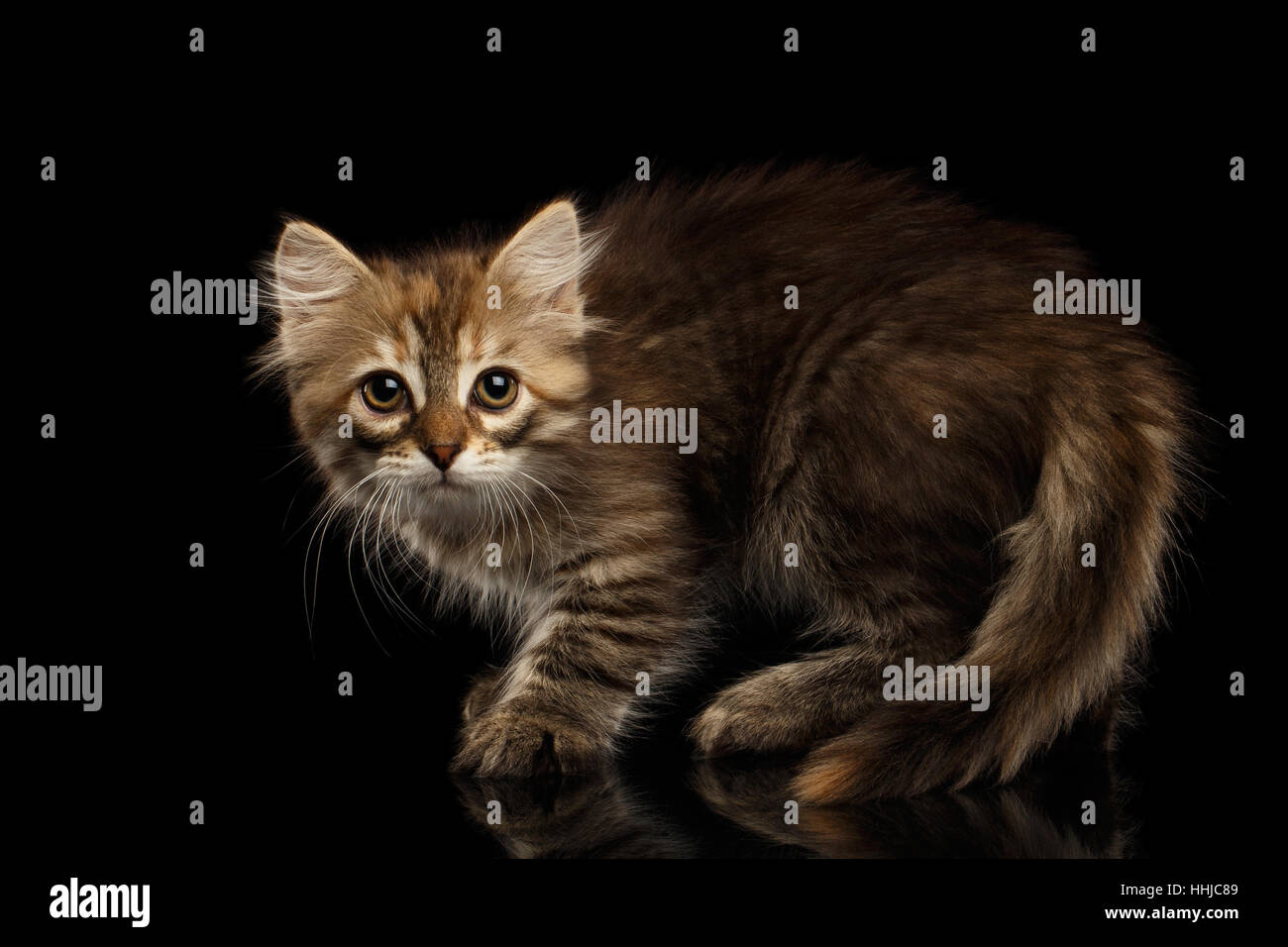 Siberian kitty on isolated black background - Stock Image