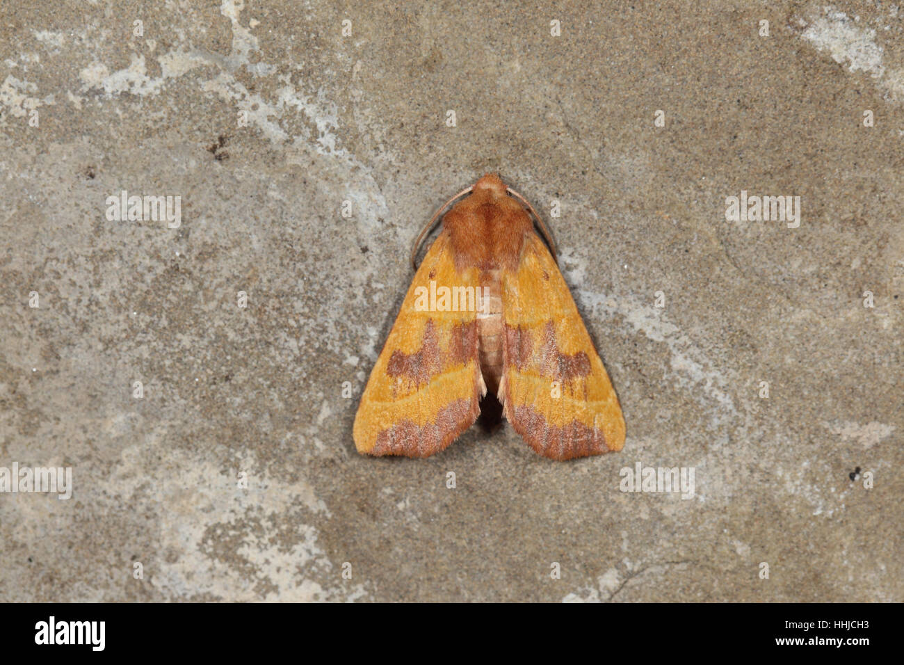 Centre-barred Sallow (Atethmia centrago) - yellow and pink-brown moth perched on stone in suburban garden - Stock Image