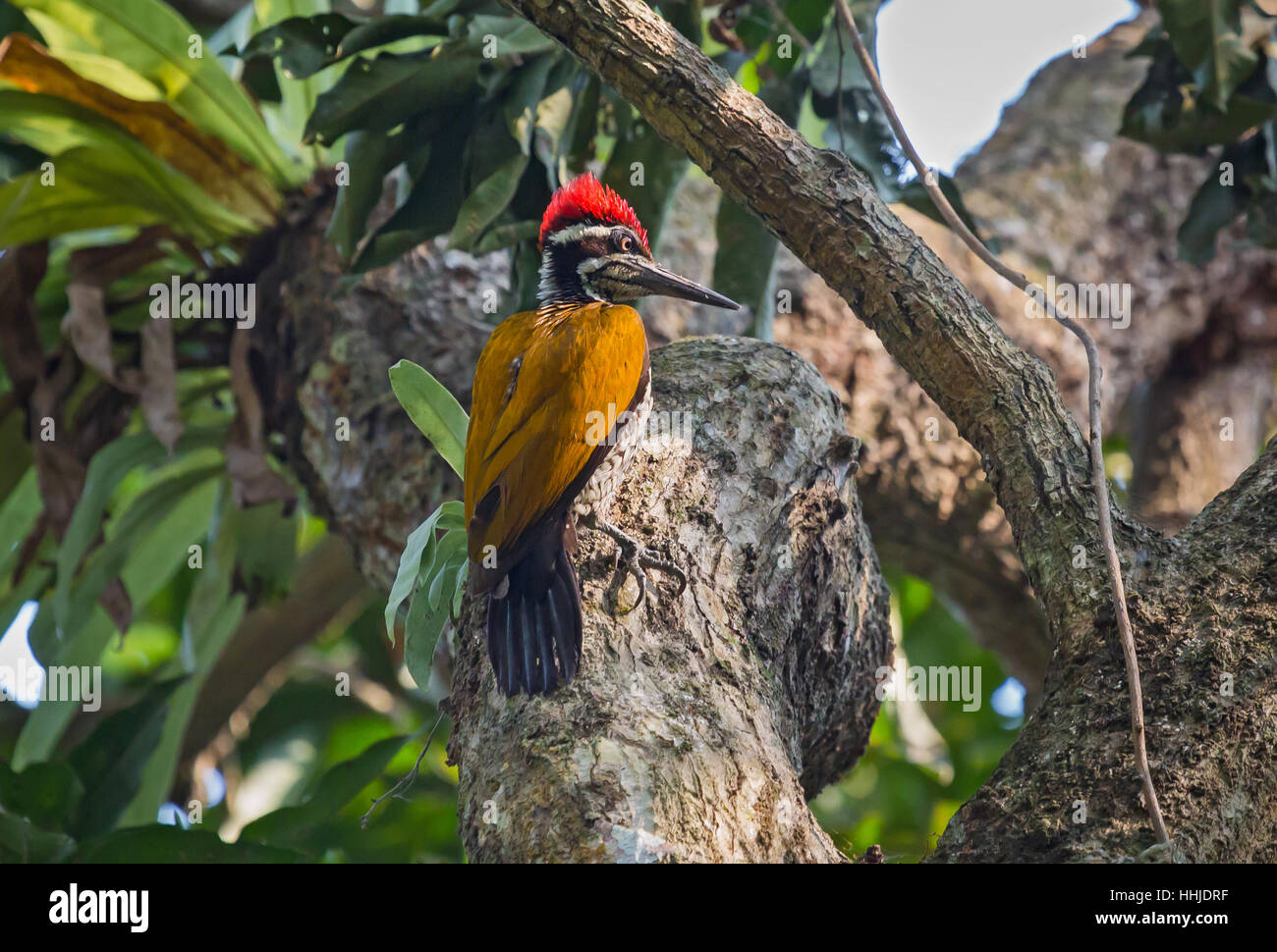 Indian Black-rumped Flameback Woodpecker bird perched vertically on the stem of a tree. Stock Photo