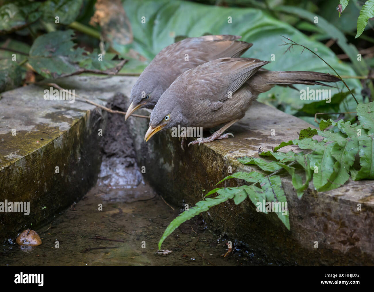 Common Indian birds - the Jungle Babbler pair near a waterhole. - Stock Image