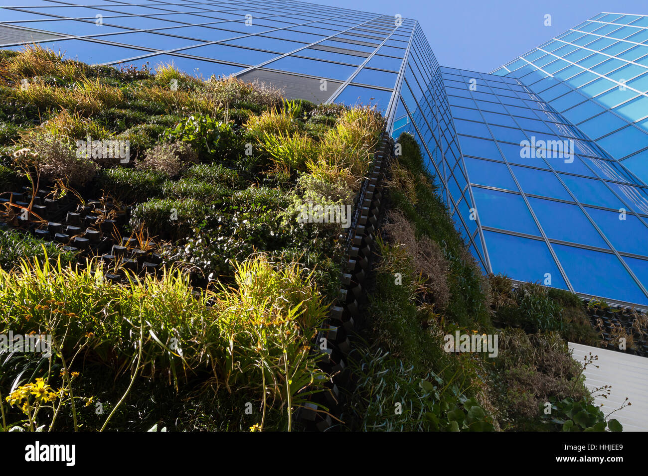 A modern office building using plants on the walls (vertically vegitated)  to combat heat island effects in summer - Stock Image