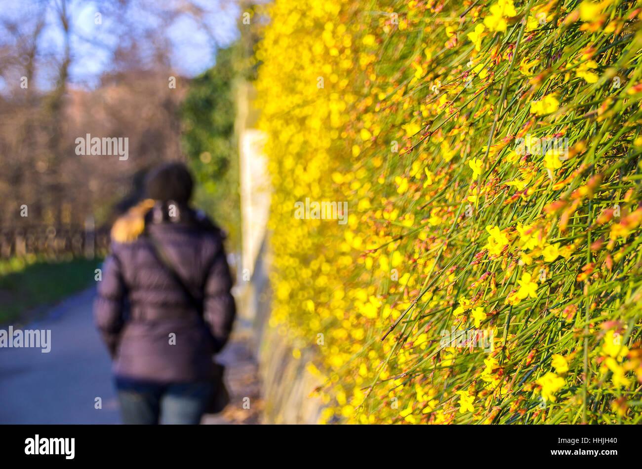 winter end flower bloom spring arrival woman walk back blurred background winter jasmine - Stock Image