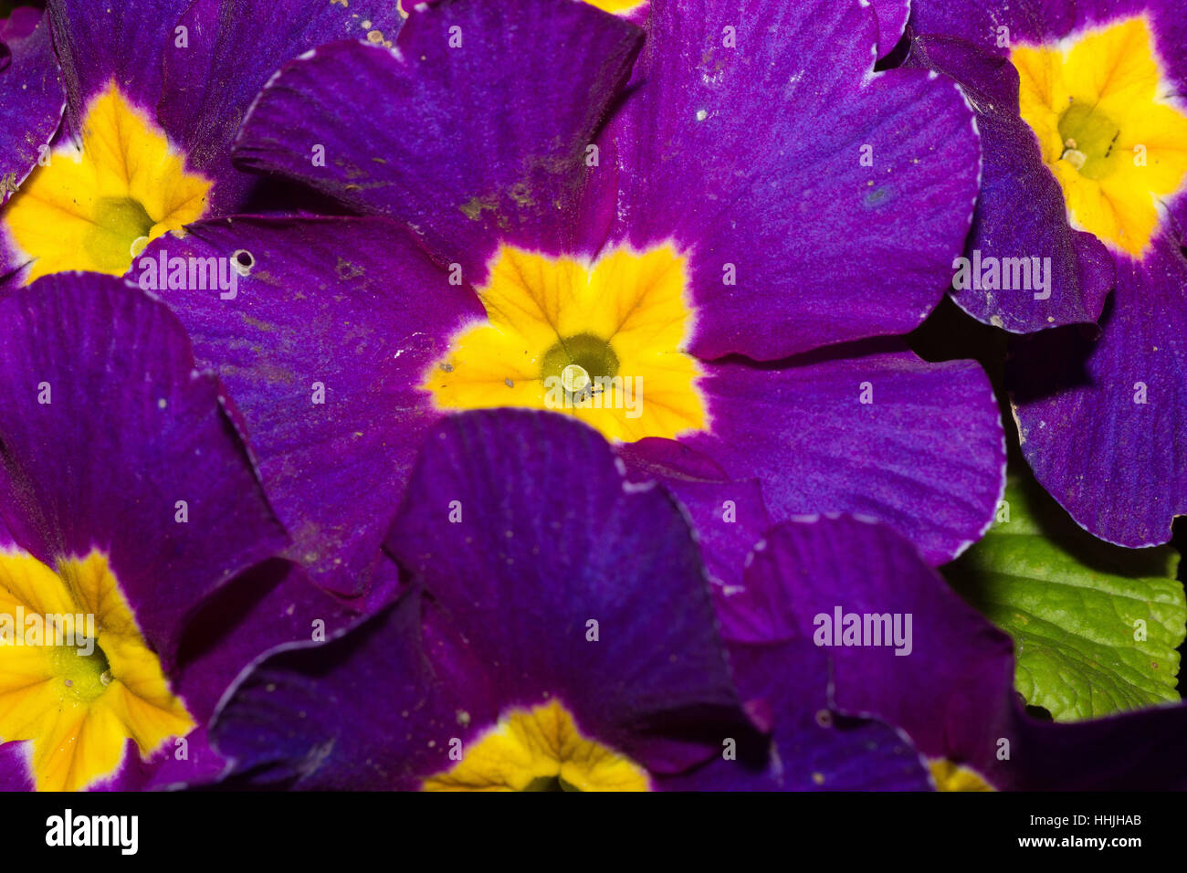 Purple flowers with striped velvet textured petals and yellow centre purple flowers with striped velvet textured petals and yellow centre close up mightylinksfo