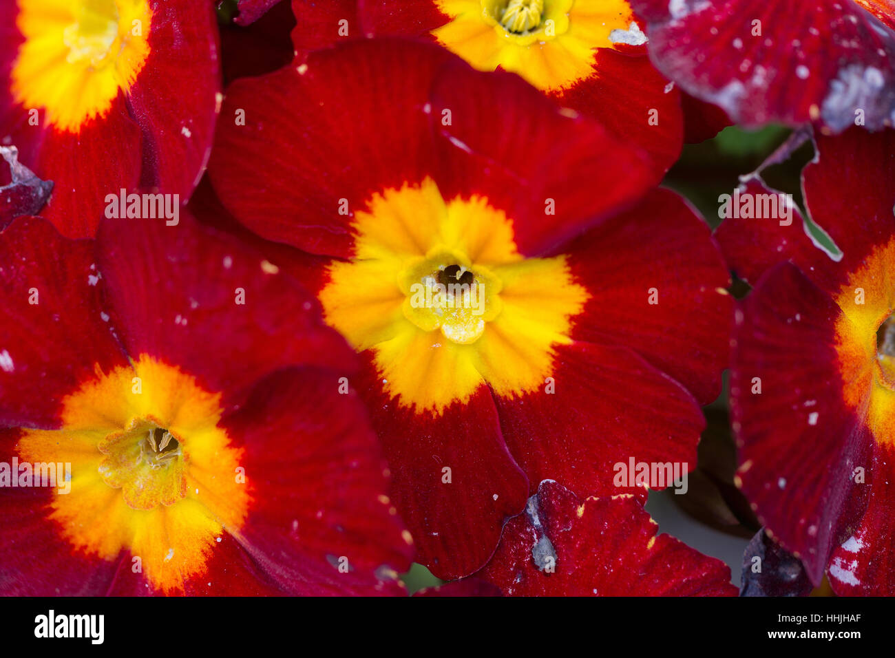 Red Flowers With Striped Velvet Textured Petals And Yellow Centre