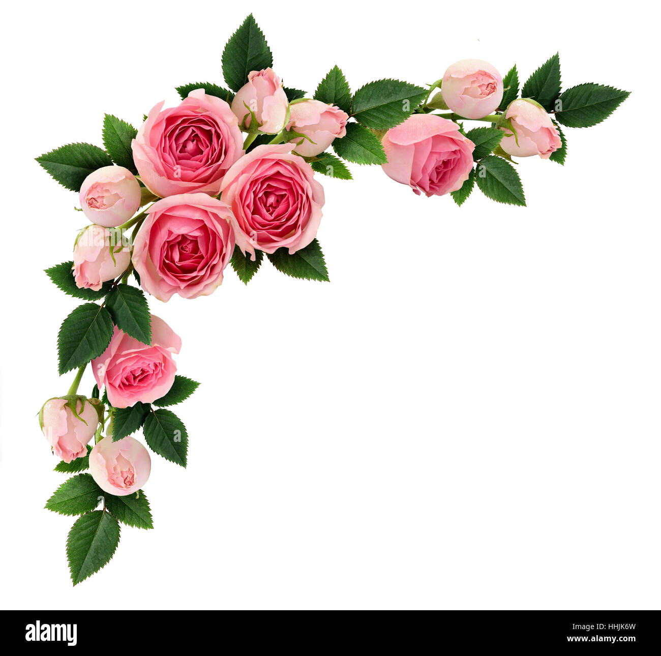 pink rose flowers and buds corner arrangement isolated on