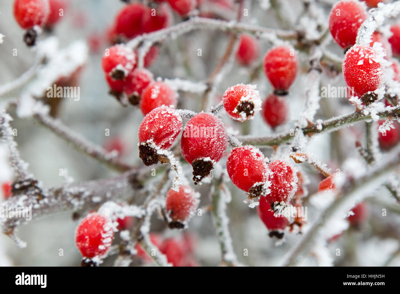 Red rosehip berries in winter frost closeup Stock Photo ...