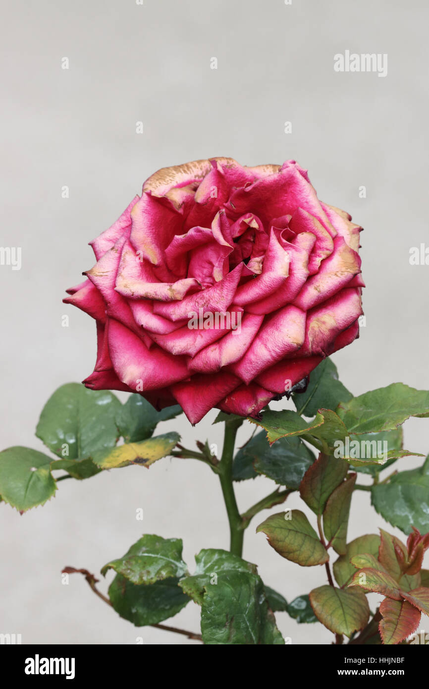 Dying Flower Isolated Stock Photos & Dying Flower Isolated Stock ...