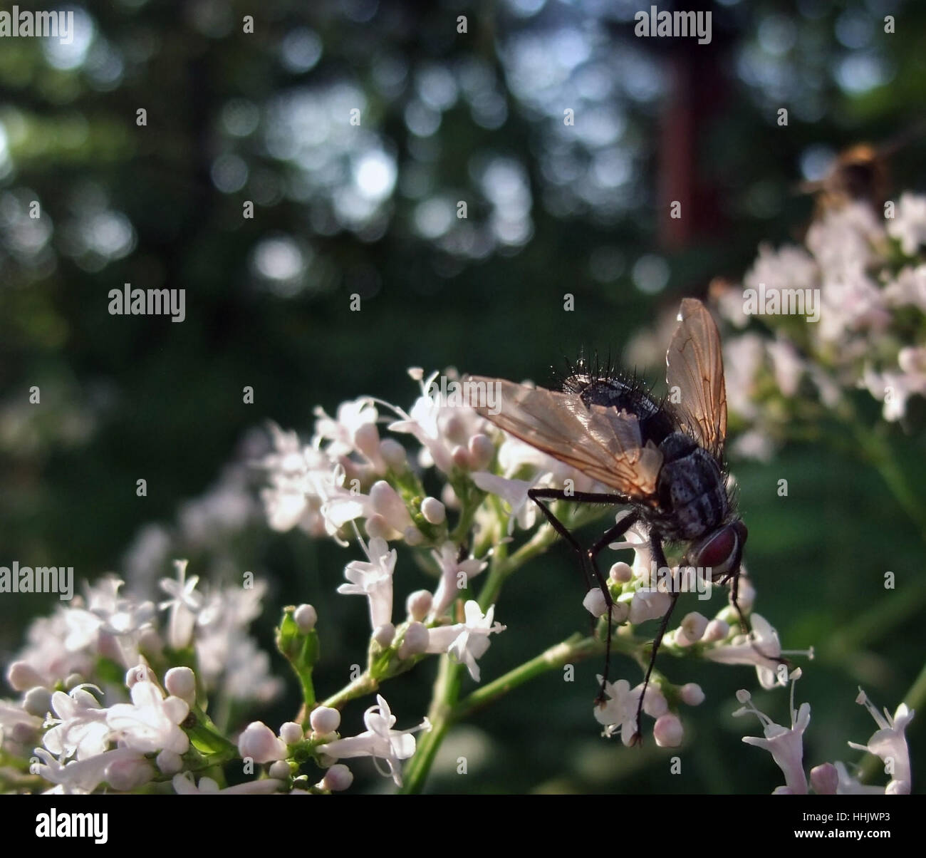 a flesh-fly sitting on pastel toned small flowers in blurry back - Stock Image