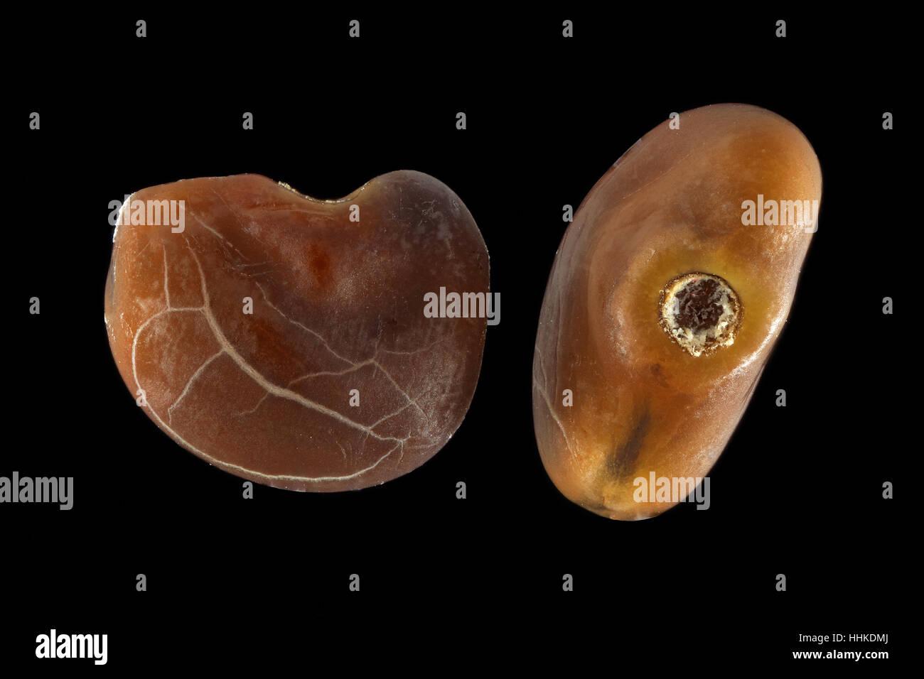 Glycyrrhiza glabra, Liquorice, Echtes Süssholz, seeds, close up, seed size 2.0-2.5 mm Stock Photo
