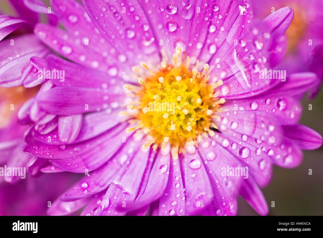Flower plant flowers purple aster fall pink autumn park flower plant flowers purple aster fall pink autumn park garden mightylinksfo