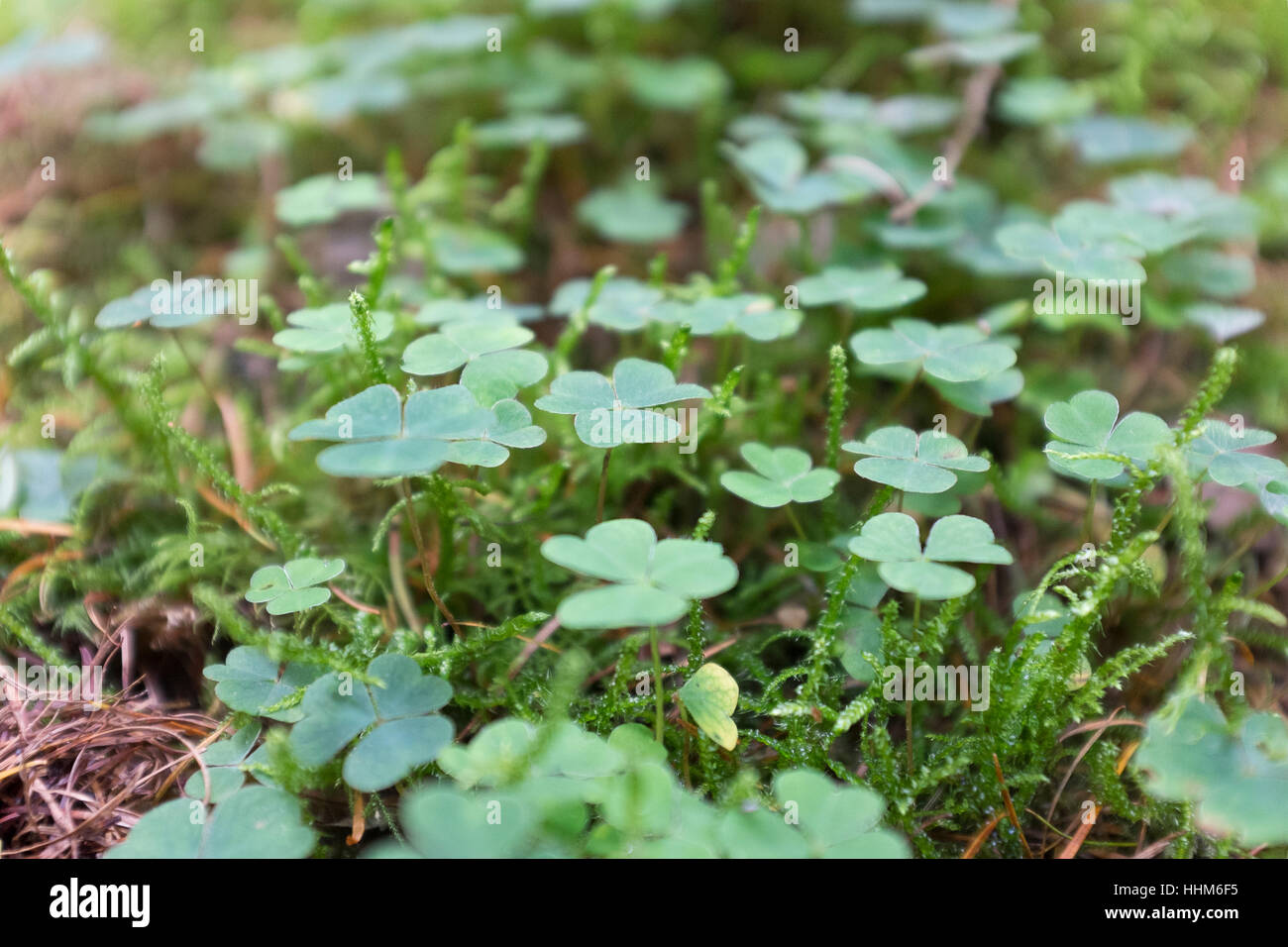 Clover and moss in woodland Stock Photo