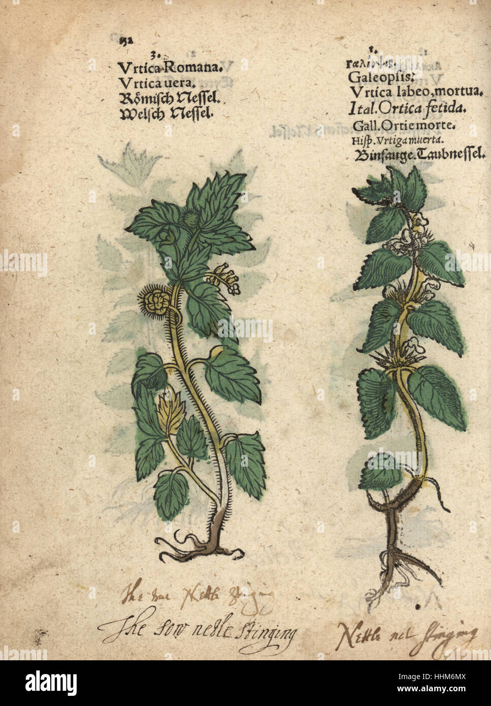 [Image: stinging-nettle-urtica-dioica-and-hemp-n...HHM6MX.jpg]