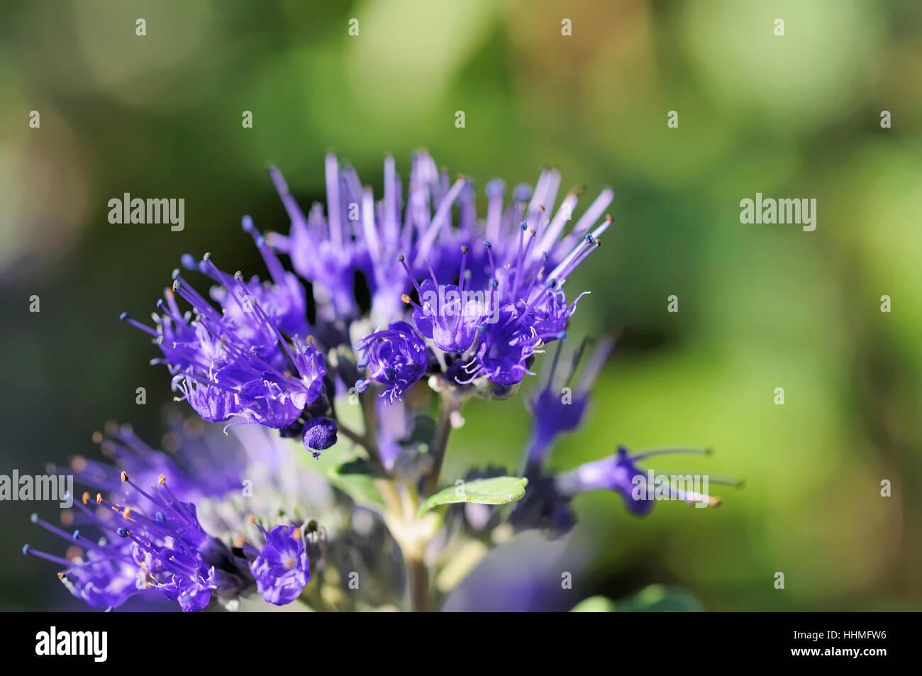 Blue Flower Plant Bloom Blossom Flourish Flourishing Flowers