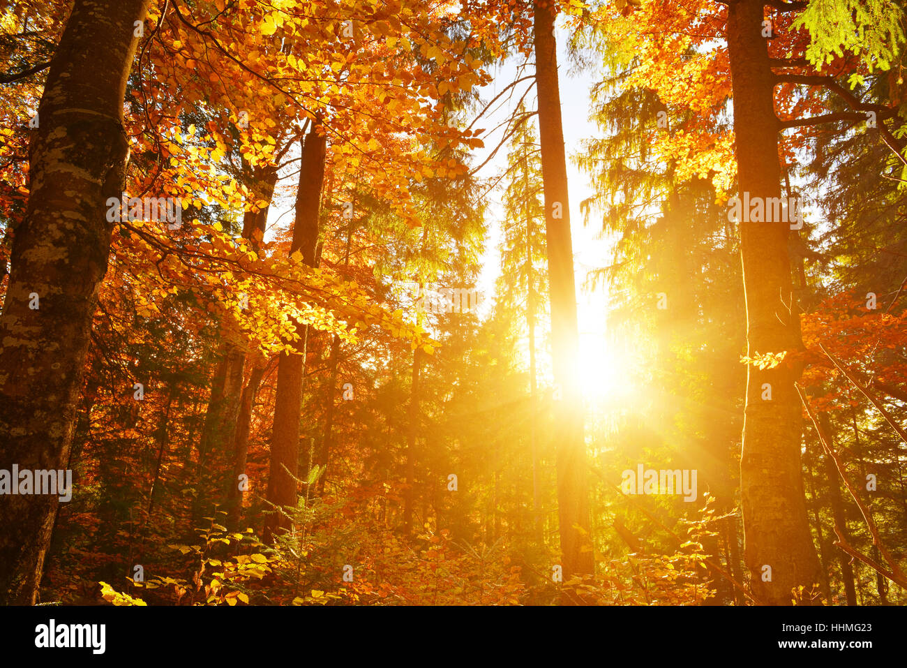 Warm sunlight in autumn leaf forest Stock Photo