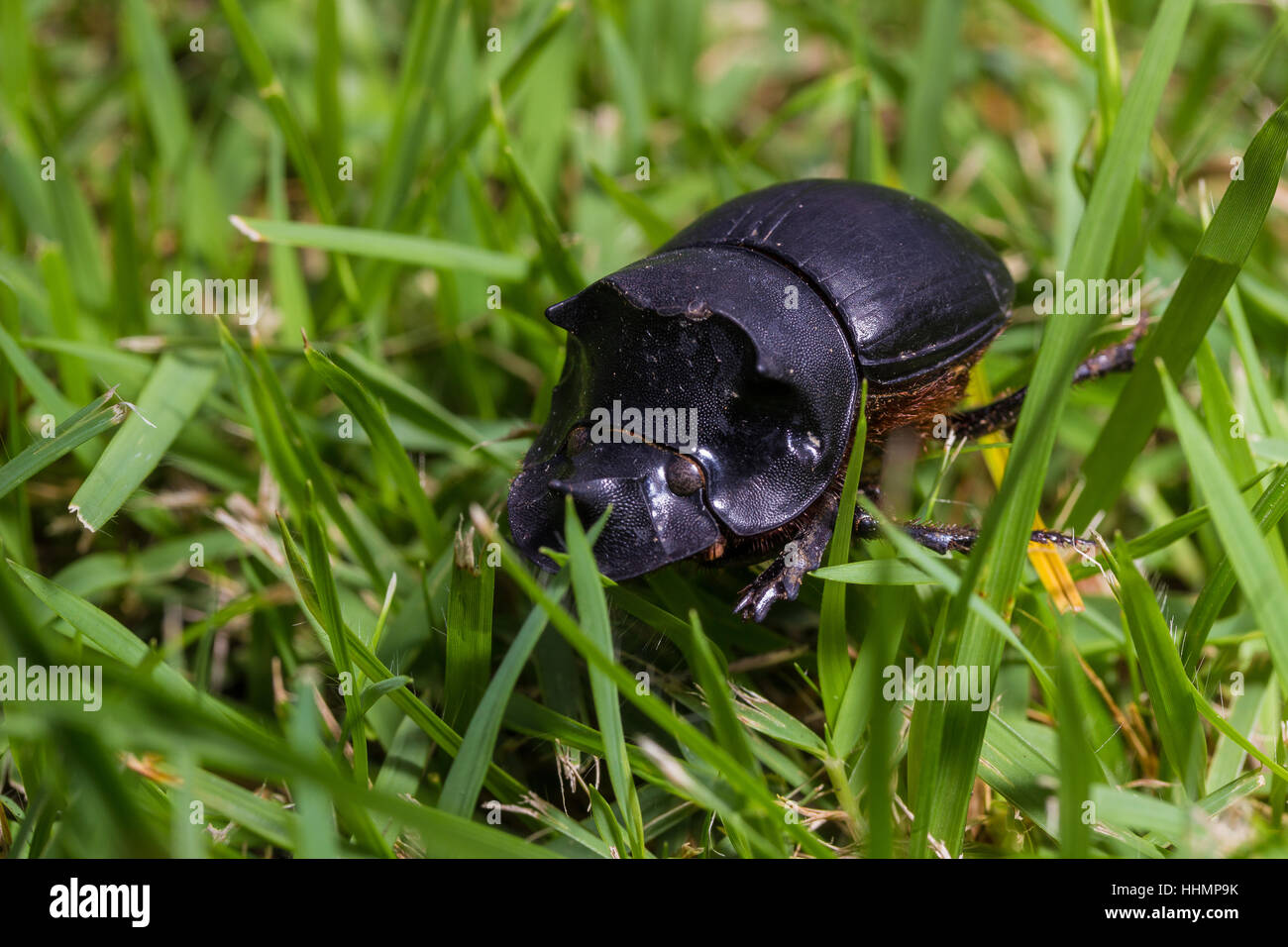 Beetle, Tri Horned Beetle (Catharsius molossus) on the ground Stock Photo