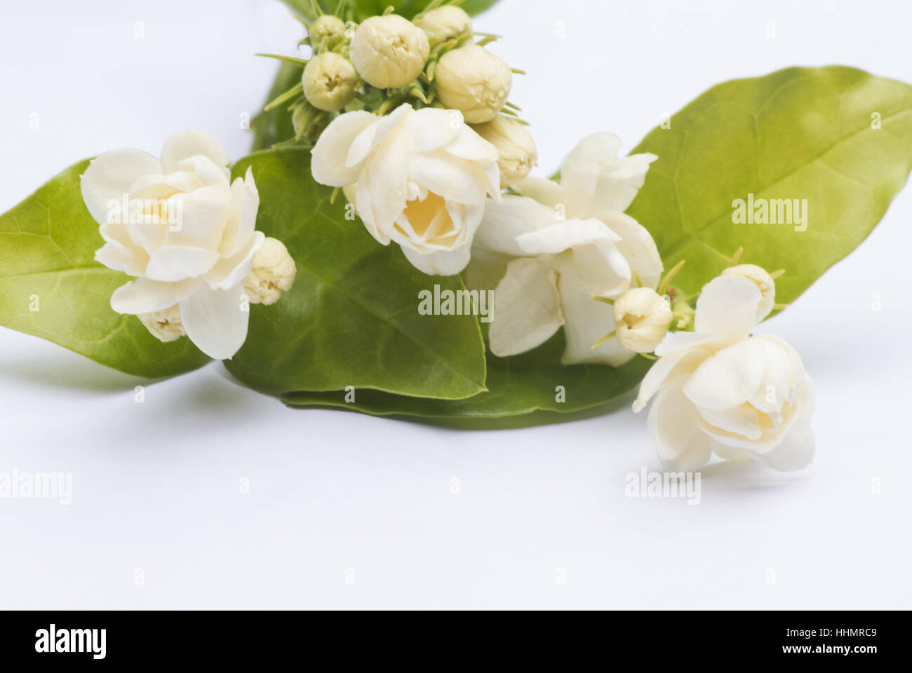 Jasmine flowers arabian jasmine jasminum sambac on white jasmine flowers arabian jasmine jasminum sambac on white background izmirmasajfo