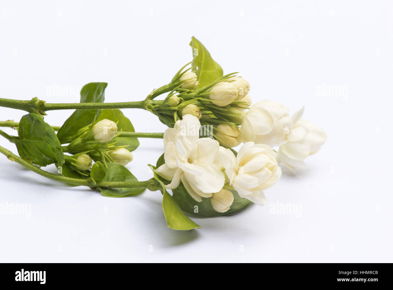 Jasmine flowers arabian jasmine jasminum sambac on white jasmine flowers arabian jasmine jasminum sambac on white background izmirmasajfo